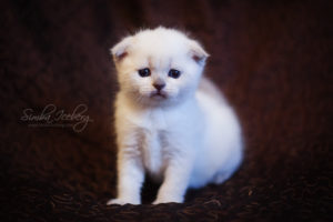 Scottish Fold blue point kitten SimbaIceberg Hera (1 month old - 22.03.2017) (5)