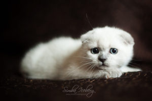 Scottish Fold blue point kitten SimbaIceberg Hera (2 months 1 week old - 29.04.2017) (2)