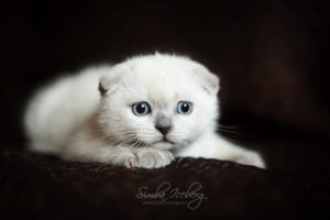 Scottish Fold blue point kitten SimbaIceberg Hera (2 months 1 week old - 29.04.2017) (3)