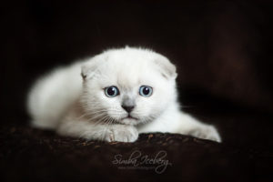 Scottish Fold blue point kitten SimbaIceberg Hera (2 months 1 week old - 29.04.2017) (4)