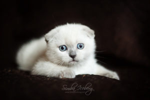 Scottish Fold blue point kitten SimbaIceberg Hera (2 months 1 week old - 29.04.2017) (5)