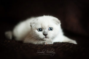 Scottish Fold blue point kitten SimbaIceberg Hera (2 months 1 week old - 29.04.2017) (7)