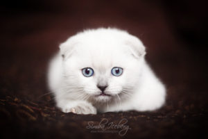Scottish Fold blue point kitten SimbaIceberg Hera (2 months old - 22.04.2017) (1)