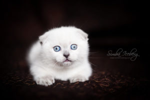 Scottish Fold blue point kitten SimbaIceberg Hera (2 months old - 22.04.2017) (3)