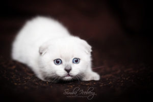 Scottish Fold blue point kitten SimbaIceberg Hera (2 months old - 22.04.2017) (4)