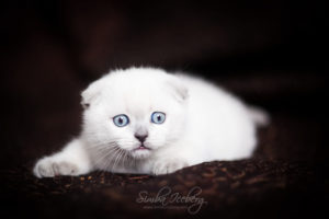 Scottish Fold blue point kitten SimbaIceberg Hera (2 months old - 22.04.2017) (5)