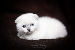 Scottish Fold blue point kitten SimbaIceberg Hera (2 months old - 22.04.2017) (6)
