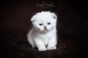 Scottish Fold blue point kitten SimbaIceberg Hera (27 days old - 21.03.2017) (1)