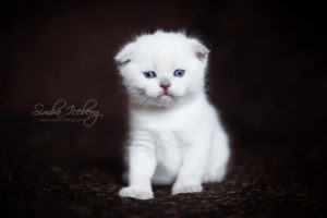 Scottish Fold blue point kitten SimbaIceberg Hera (27 days old - 21.03.2017) (2)