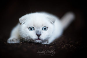 Scottish Fold blue point kitten SimbaIceberg Hera (3 months old - 22.05.2017) (1)