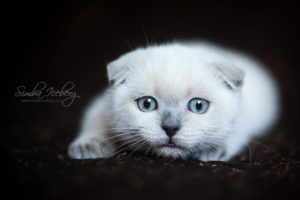 Scottish Fold blue point kitten SimbaIceberg Hera (3 months old - 22.05.2017) (2)