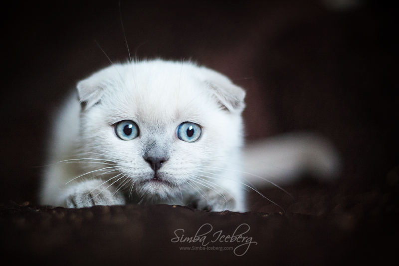 Scottish Fold blue point kitten SimbaIceberg Hera (3 months old - 22.05.2017) (3)