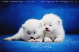 Scottish Fold blue point kittens Camelot of Simba Iceberg and Cruel Morgana of Simba Iceberg (8 days old - 14.01.2013)