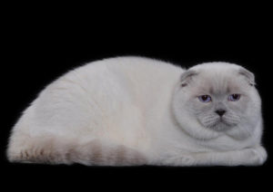 Scottish Fold lilac point cat Epic Spock of Simba Iceberg (1 year 3 months 2 weeks old - 13.12.2014)