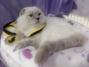 Scottish Fold lilac point cat Epic Spock of Simba Iceberg (1 year 3 months old - 26.11.2014)
