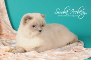 Scottish Fold lilac point cat Rosabel (1)