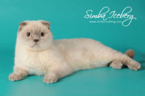 Scottish Fold lilac point cat Rosabel (2)