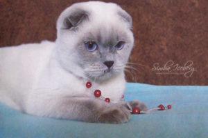 Scottish Fold lilac point cat Rosabel (4)