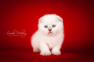 Scottish Fold lilac point kitten Epic Spock of Simba Iceberg (1 month 1 week old - 08.10.2013) (1)