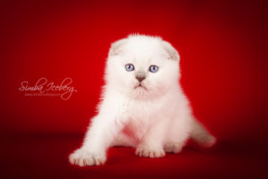 Scottish Fold lilac point kitten Epic Spock of Simba Iceberg (1 month 1 week old - 08.10.2013) (2)