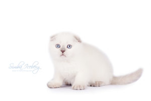 Scottish Fold lilac point kitten Epic Spock of Simba Iceberg (1 month 3 weeks old - 20.10.2013) (1)