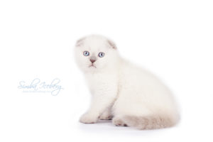 Scottish Fold lilac point kitten Epic Spock of Simba Iceberg (1 month 3 weeks old - 20.10.2013) (2)