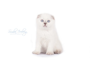 Scottish Fold lilac point kitten Epic Spock of Simba Iceberg (1 month 3 weeks old - 20.10.2013) (5)