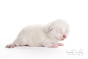 Scottish Fold lilac point kitten Epic Spock of Simba Iceberg (13 days old - 07.09.2013) (2)