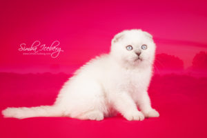 Scottish Fold lilac point kitten Epic Spock of Simba Iceberg (2 months 1 week old - 02.11.2013) (3)