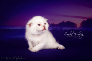 Scottish Fold lilac point kitten Epic Spock of Simba Iceberg (2 weeks old - 14.09.2013) (3)
