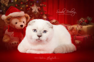 Scottish Fold lilac point kitten Epic Spock of Simba Iceberg (3 months 3 weeks old - 21.12.2013) (2)