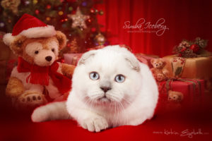 Scottish Fold lilac point kitten Epic Spock of Simba Iceberg (3 months 3 weeks old - 21.12.2013) (3)