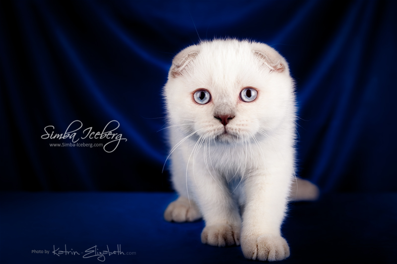 Scottish Fold lilac point kitten Epic Spock of Simba Iceberg (3 months old - 30.11.2013) (1)