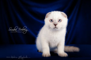 Scottish Fold lilac point kitten Epic Spock of Simba Iceberg (3 months old - 30.11.2013) (2)