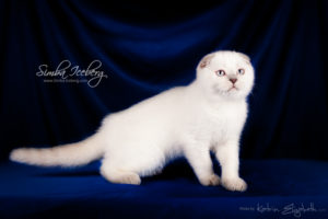Scottish Fold lilac point kitten Epic Spock of Simba Iceberg (3 months old - 30.11.2013) (4)