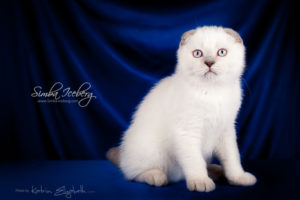 Scottish Fold lilac point kitten Epic Spock of Simba Iceberg (3 months old - 30.11.2013) (5)