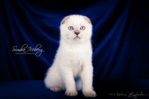 Scottish Fold lilac point kitten Epic Spock of Simba Iceberg (3 months old - 30.11.2013) (6)