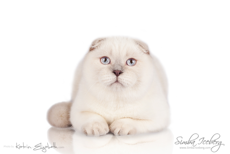 Scottish Fold lilac point kitten Epic Spock of Simba Iceberg (5 months 4 weeks old - 23.02.2014) (1)