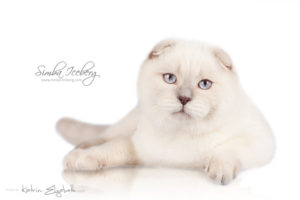 Scottish Fold lilac point kitten Epic Spock of Simba Iceberg (5 months 4 weeks old - 23.02.2014) (3)