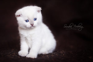 Scottish Fold lilac point kitten SimbaIceberg Handsome Thranduil (1 month 1 week old - 31.03.2017) (1)