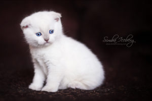Scottish Fold lilac point kitten SimbaIceberg Handsome Thranduil (1 month 1 week old - 31.03.2017) (2)