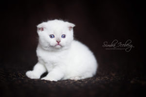Scottish Fold lilac point kitten SimbaIceberg Handsome Thranduil (1 month 3 days old - 25.03.2017) (2)
