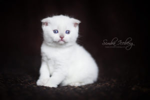 Scottish Fold lilac point kitten SimbaIceberg Handsome Thranduil (1 month 3 days old - 25.03.2017) (3)