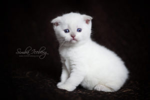Scottish Fold lilac point kitten SimbaIceberg Handsome Thranduil (1 month 3 days old - 25.03.2017) (5)