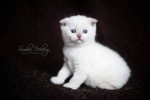 Scottish Fold lilac point kitten SimbaIceberg Handsome Thranduil (1 month 3 days old - 25.03.2017) (6)
