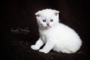 Scottish Fold lilac point kitten SimbaIceberg Handsome Thranduil (1 month 3 days old - 25.03.2017) (7)