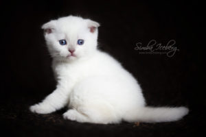 Scottish Fold lilac point kitten SimbaIceberg Handsome Thranduil (1 month 3 days old - 25.03.2017) (9)