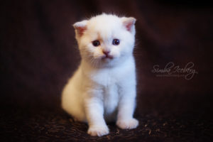 Scottish Fold lilac point kitten SimbaIceberg Handsome Thranduil (1 month old - 22.03.2017) (1)