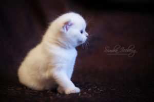 Scottish Fold lilac point kitten SimbaIceberg Handsome Thranduil (1 month old - 22.03.2017) (2)