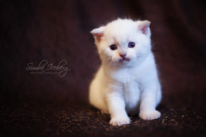 Scottish Fold lilac point kitten SimbaIceberg Handsome Thranduil (1 month old - 22.03.2017) (3)
